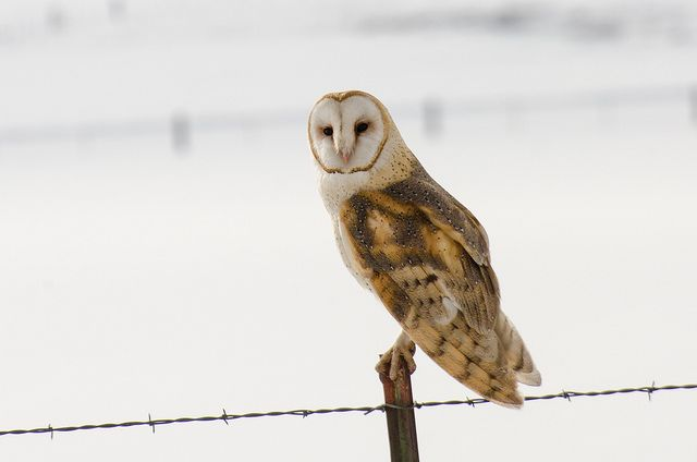 Barn Owl by Robinsegg, via Flickr
