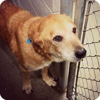 Yellow Lab Chow Mix Labrador retriever, Labrador