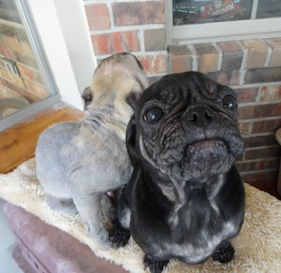 Rescued Pug Puppies That Need A Home A Bunch Of Pugs Were Just