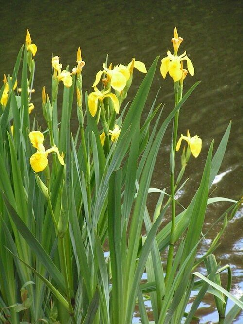 Iris Pseudacorus Water Plants Water Plants For Ponds Plants