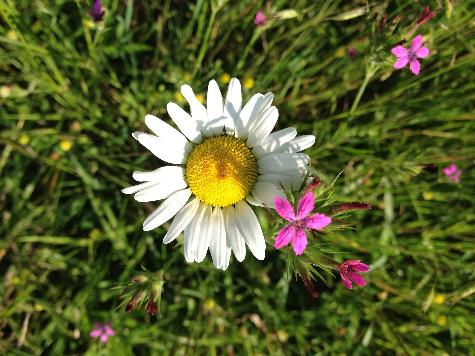 What Is Daisy Weather Heart Of Hollyhill Daisy Weather Flowers