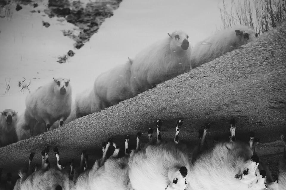 Schaapjes uit het boek waar lopen de schapen