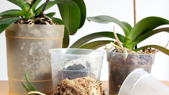 Rempoter Orchidee Rempoter Orchidee Plante Jardin Et Arrosage