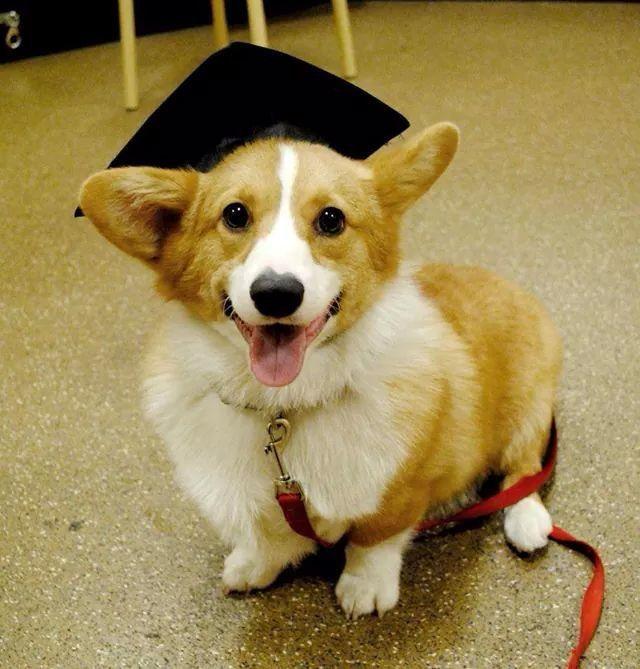 Riley The Little Corgi Graduating From Puppy Class Corgi