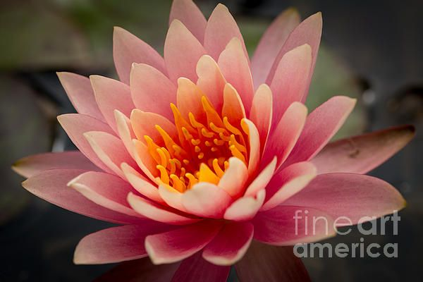 A pink lotus flower you know the saying no mud no lotus click on a pink lotus flower you know the saying no mud no lotus click on the link to purchase this as a canvas print or even a pillow mightylinksfo