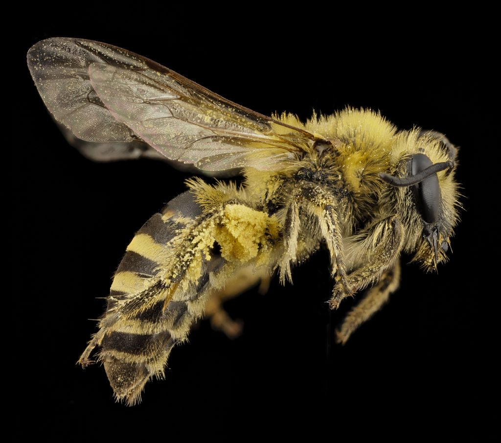 Colletes hederae, photo by Sam Droege, http://qz.com/421638/the-most ...
