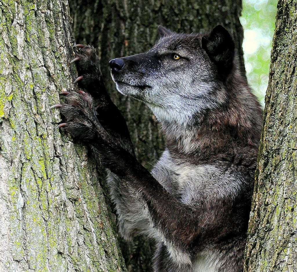 Black wolf in a tree by eveusnatureluvulillian dog care