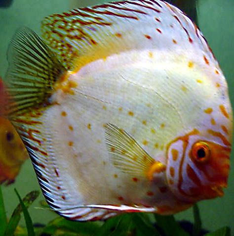 Pin On Discus Fish Symphysodon Species And Hybrids