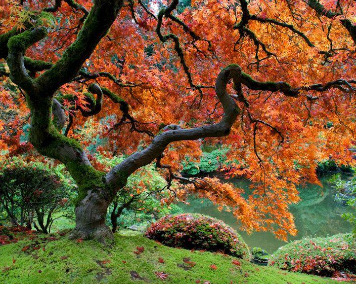 Autumn maple - garden photograph fall bold photo red leaves tree orange japanese garden zen bonsai buddhist - Unforgettable Autumn - nat0003. $30.00, via Etsy.