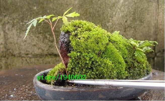 lose money!!!!100pcs Imported Irish Moss Seeds, Sagina Subulata Seeds, Moss Seeds for DIY home garden