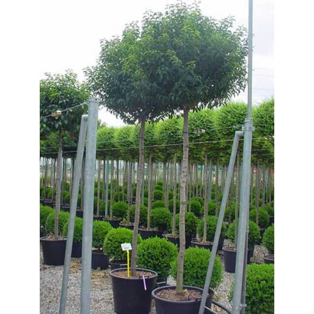 Portugiesischer Kirschlorbeer prunus lusitanica angustifolia hochstamm portugiesischer