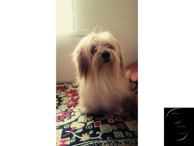Champion Quality Lhasa Apso Available With Paper In Pune