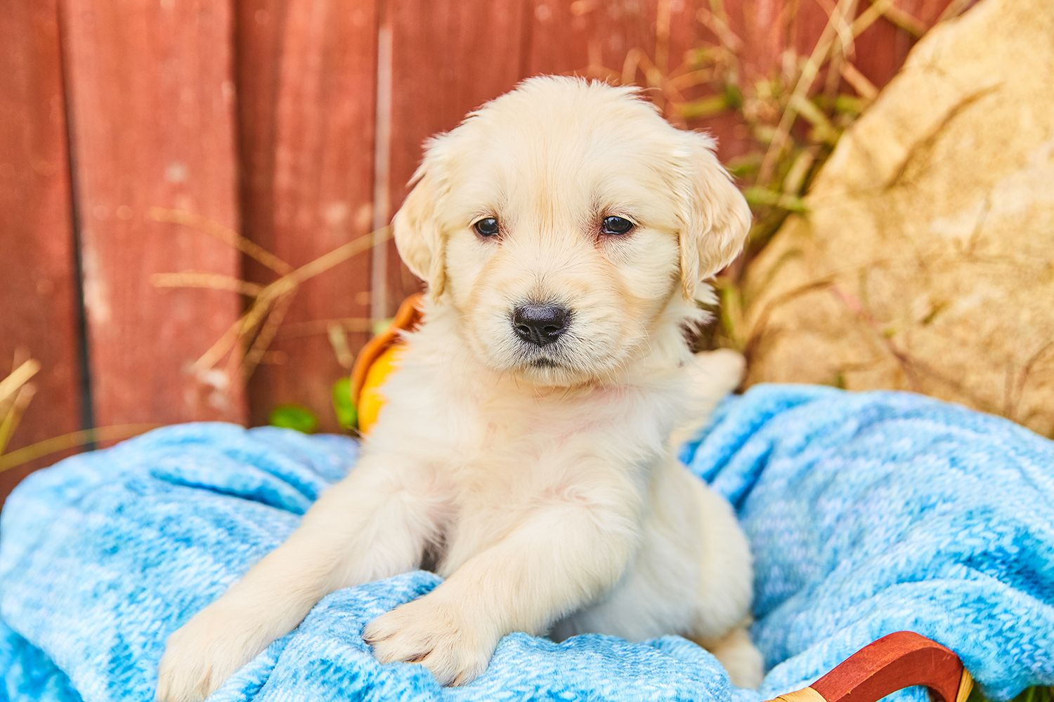 Golden Retrievers Have The Reputation Of Being Smart Easygoing Dogs That Are Good With Kids Interested In Adopting One Dog Person Golden Retriever Family Dogs