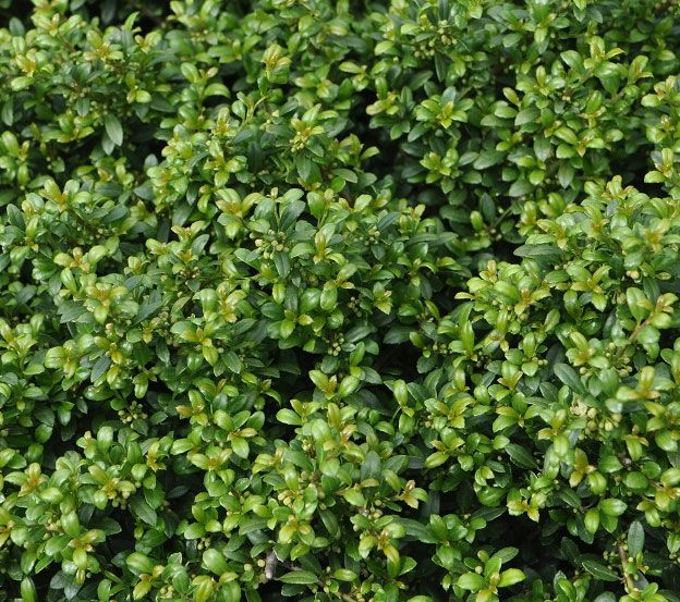 Ilex crenata 'Beehive' - Conifers › Holly | Maplestone Ornamentals
