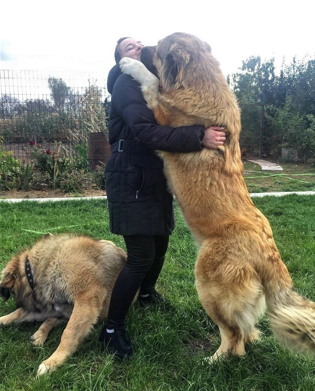 Caucasian Mountain Shepherd For Sale >> How Much Would Caucasian Mountain Dog Cost Puppy Price Dogs