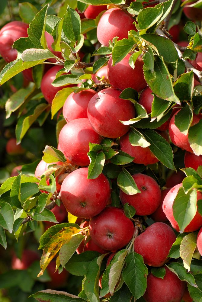 Grow Your Own Apple Trees Always A Popular Choice These Are One Of The Easiest Fruit Trees To Grow And I Growing Fruit Trees Fruit Plants Growing Apple Trees