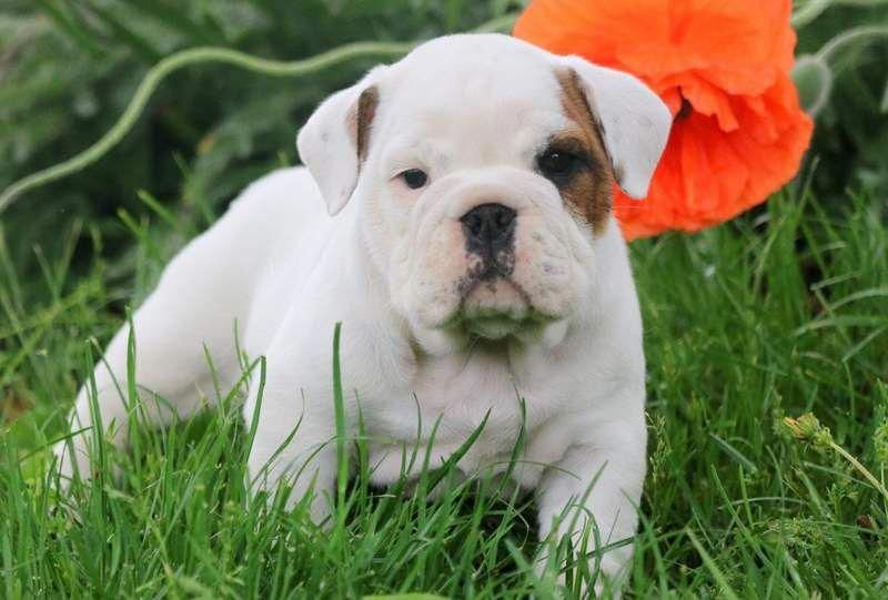 See Our Site For Additional Info On Bulldogs It Is Actually An