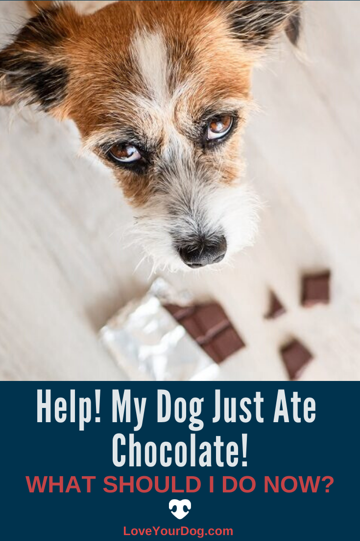 Help My Dog Just Ate Chocolate What Should I Do Now Dogs Dog