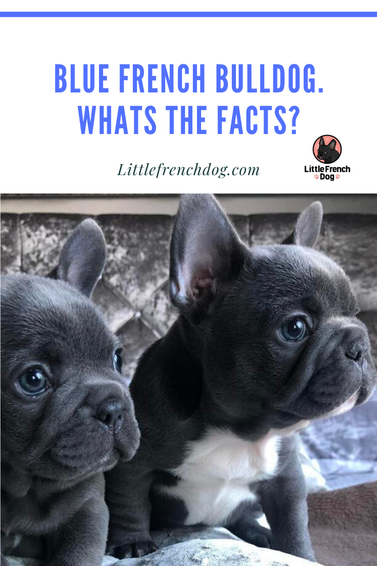 Blue French Bulldog Whats The Facts With Images French Bulldog Blue French Bulldog Brindle French Bulldog