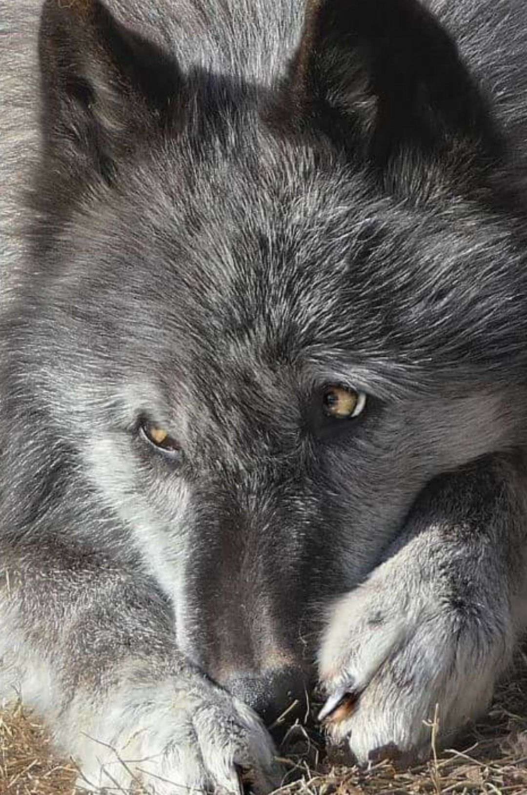 предоставляет фото плач волка фотографии после