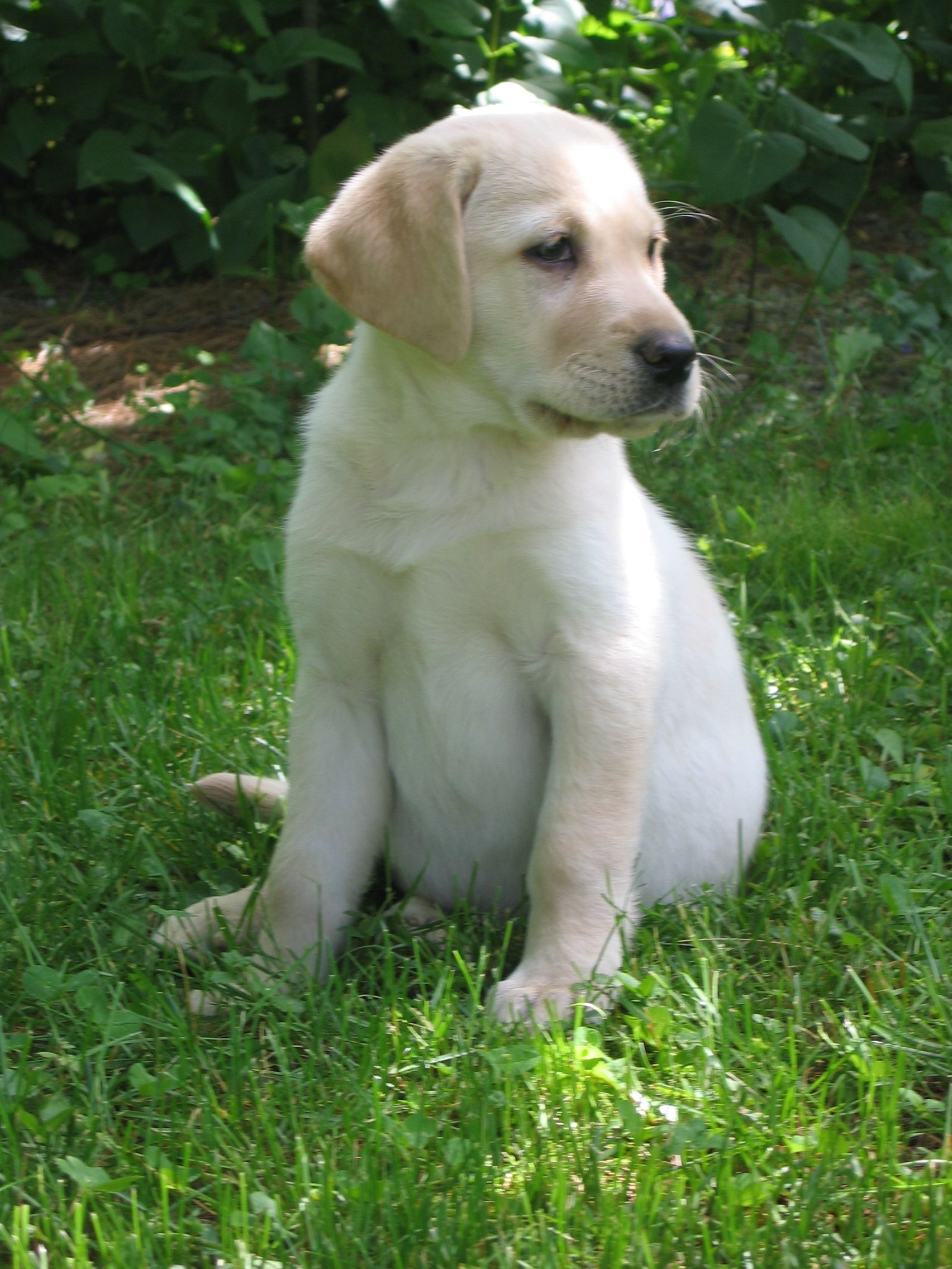 Golden Labrador Retriever Puppies Browse our shop for adorable