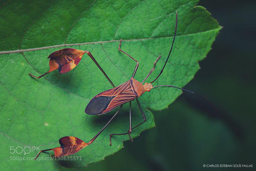 Leaf-footed bug by carlosestebancr #nature #photooftheday #amazing #picoftheday