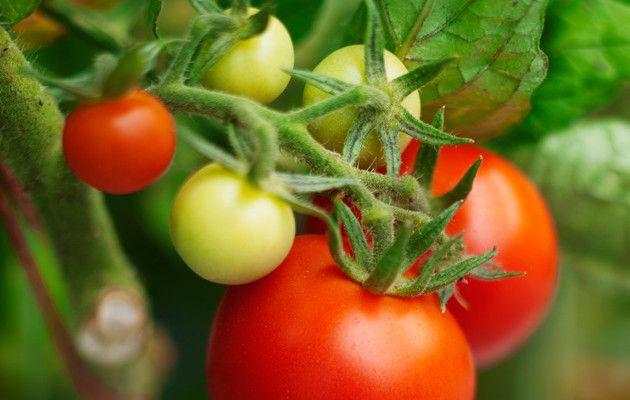 Tomaatin varkaat poistetaan monta kertaa kesässä