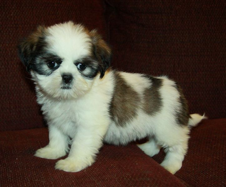 Brown And White Shih Tzu Puppy Shih Tzu Puppy Puppies