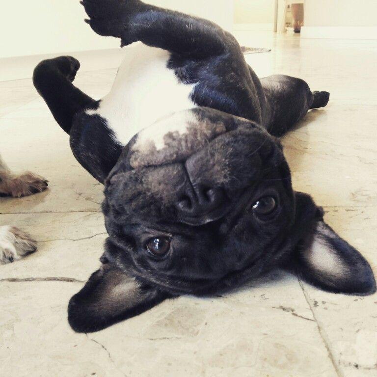 French bulldog puppy cute french bulldog french