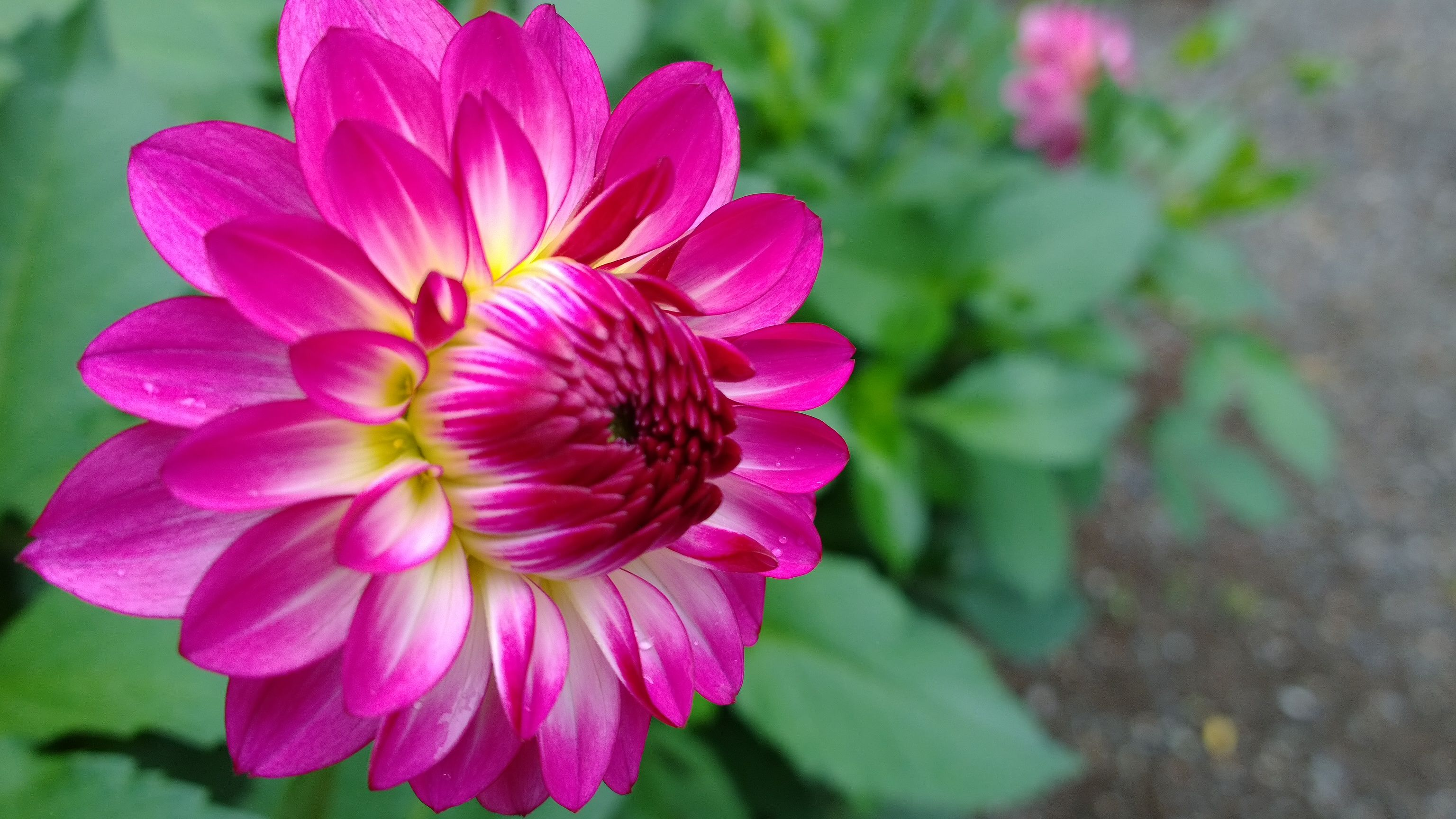 I Love Dahlias So Many Colors And Varieties Floral Pinterest