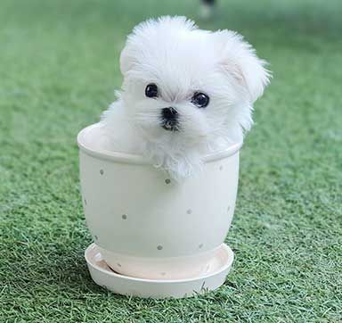 Maltese Puppies For Sale Near Me | Delight Teacup Puppies in 2020 | Maltese puppy. Maltese puppies for sale. Teacup puppies