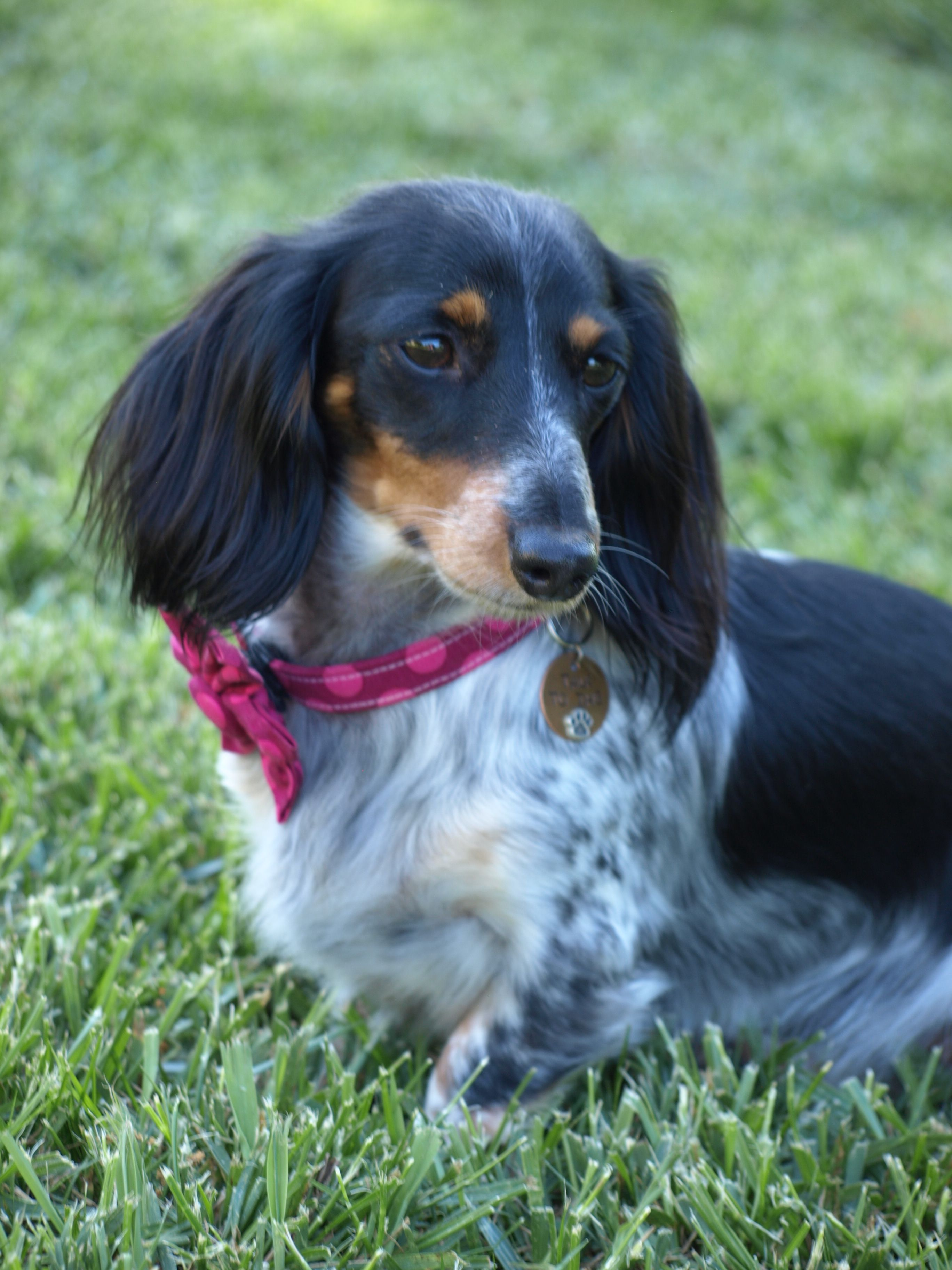 Ellie Miniature Dachshund Dachshund Love Dog Photography Dogs