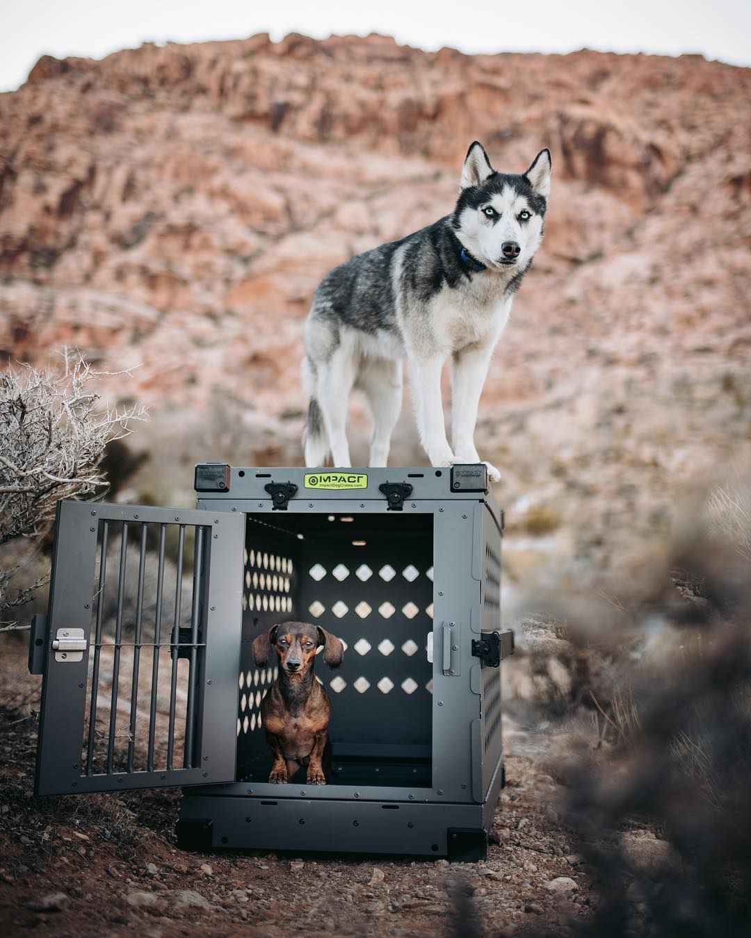 Impact Dog Crates On Instagram Kenai Caught A Wild Dachshund Wants To Know If She Can Keep Him Pawsupwest Dog Adventure Dogs Dog Crate