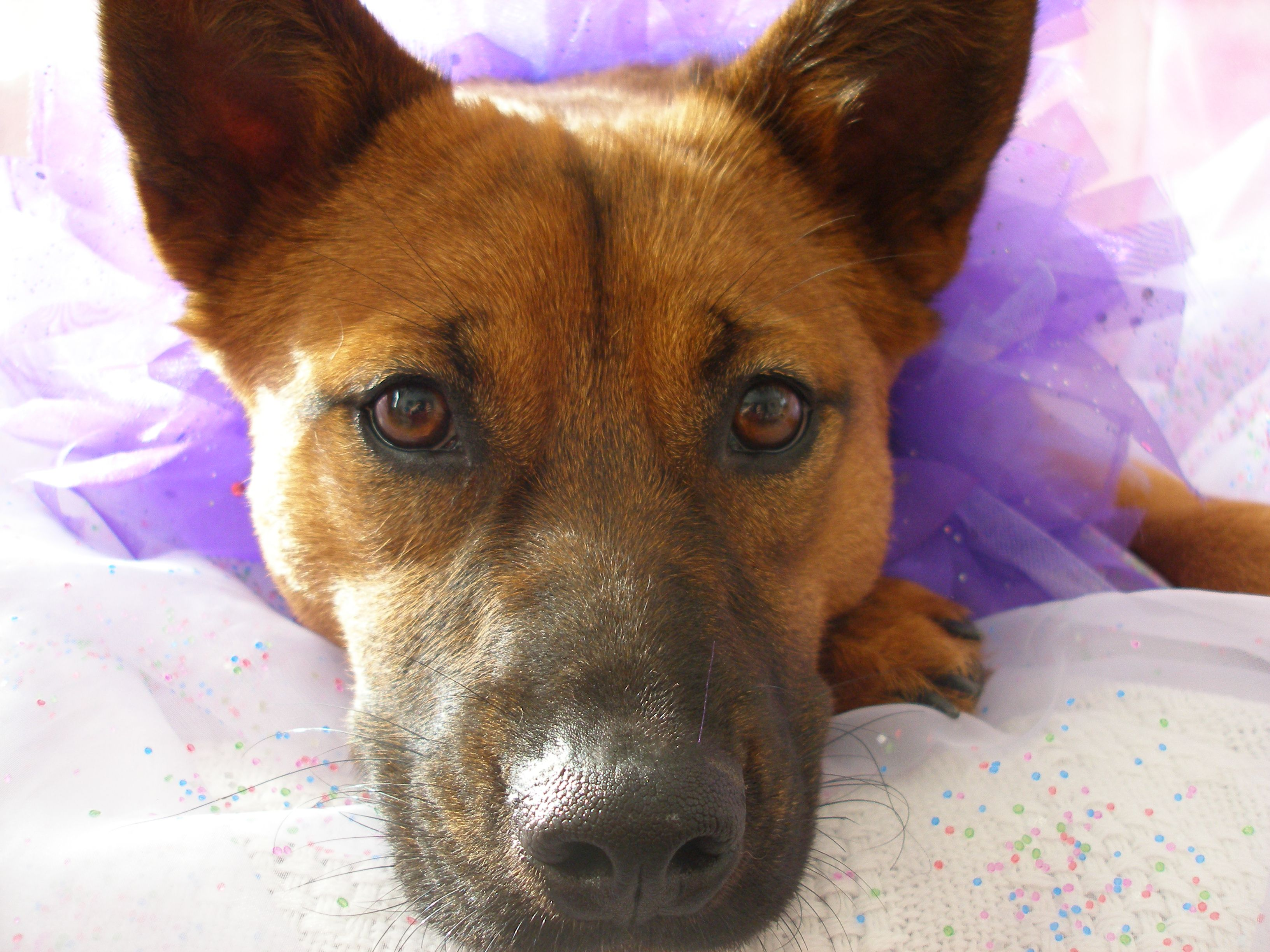 Lily, an Australian red cattle dog (heeler) rescue. Dogs