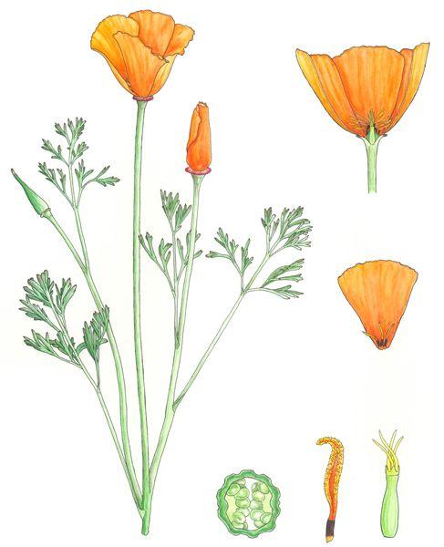 California Poppy Illustration Google Search Poppy Tattoo
