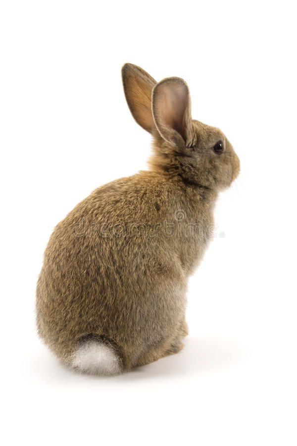 Photo of Adorable Rabbit Isolated On White Stock Photo – Image of rod…