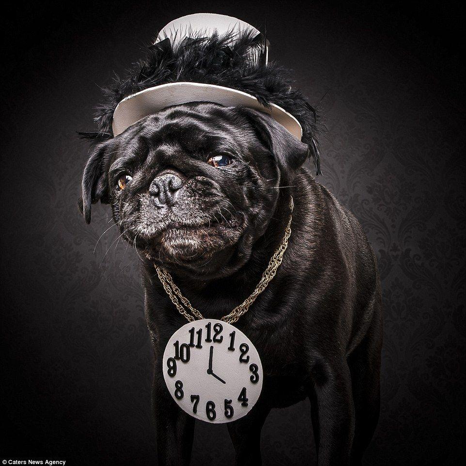 Download Pug Canine Adorable Dog - 29469b828fb5184e9d563ef37463deee  Snapshot_621746  .jpg