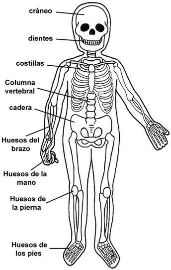 Los huesos del cuerpo humano para ni 344 542 for Interior del cuerpo humano