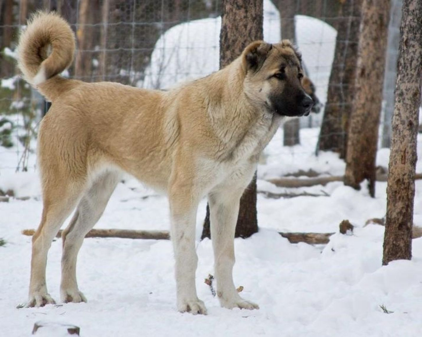 Armenian gampr: photos, breed description, character, content features and owner reviews 18