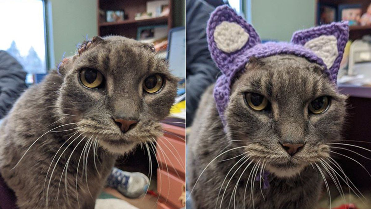 Stray Cat With No Ears Gets Purple Set and New Home