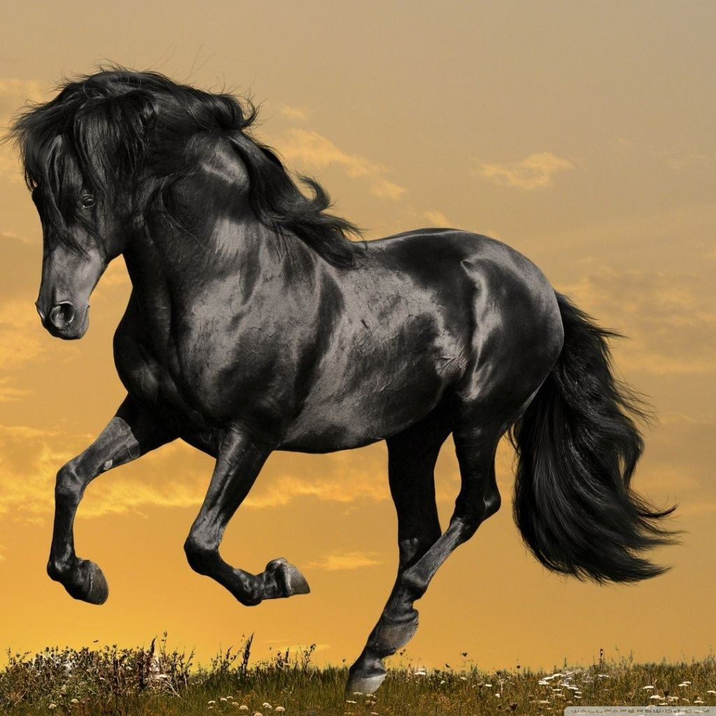 Download Black Horse Running Hd Wallpaper Horses Black Horse