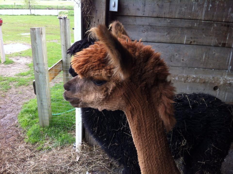 Alpaca Mohawk Allens Board Pinterest Alpacas And Llama Alpaca - 22 hilarious alpaca hairstyles