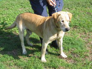Adopt Cotton On Petfinder Labrador Retriever Labrador Retriever Rescue Labrador