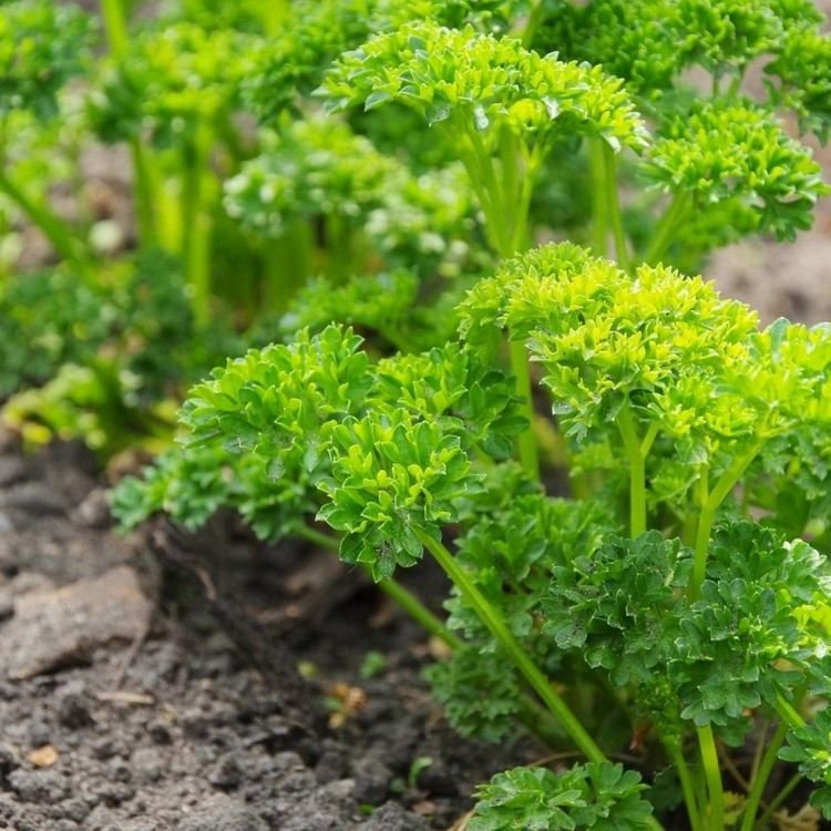 Parfaites en pot, les plantes aromatiques cuisine confèrent une belle touche déco dans un univers nature de taille minuscule. Que vous adoriez l'arôme du persil ou le goût de la ciboulette, les herbes investissent notre maison pour nous faire découvrir leurs saveurs.