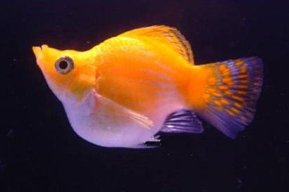 Balloon Platy Not Sure But Sebastian Likes Them Molly Fish Fish Tropical Freshwater Fish