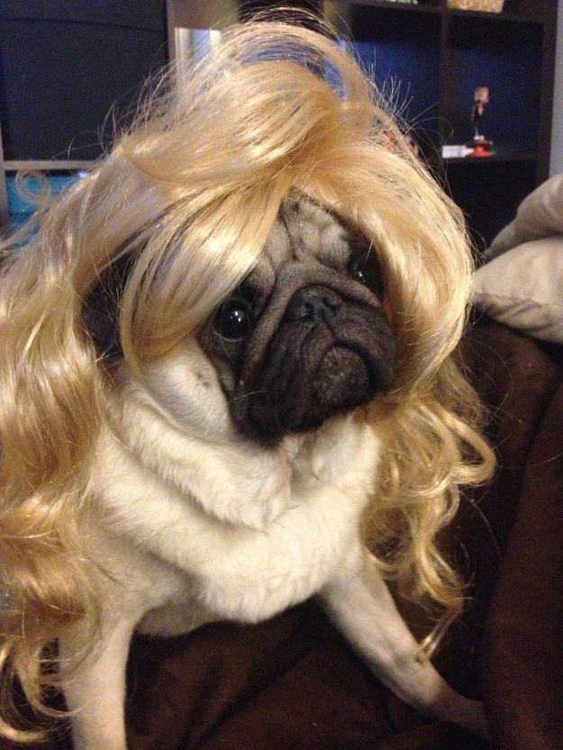 And Wonderful Hair Cute Pugs Pugs Black Pug Puppies