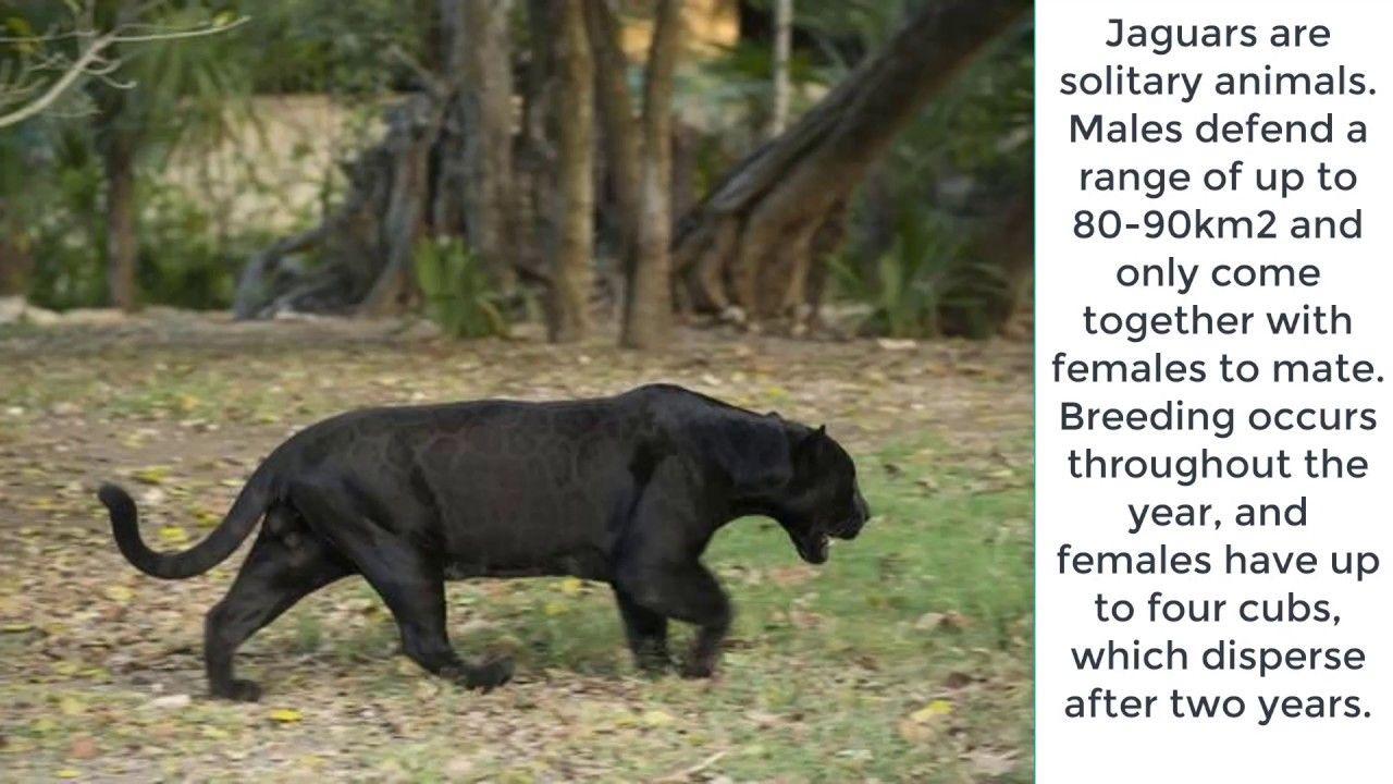 10 interesting facts about jaguars most fierce animal vs leopard fierce animals 10 interesting facts animals jaguars most fierce animal vs leopard