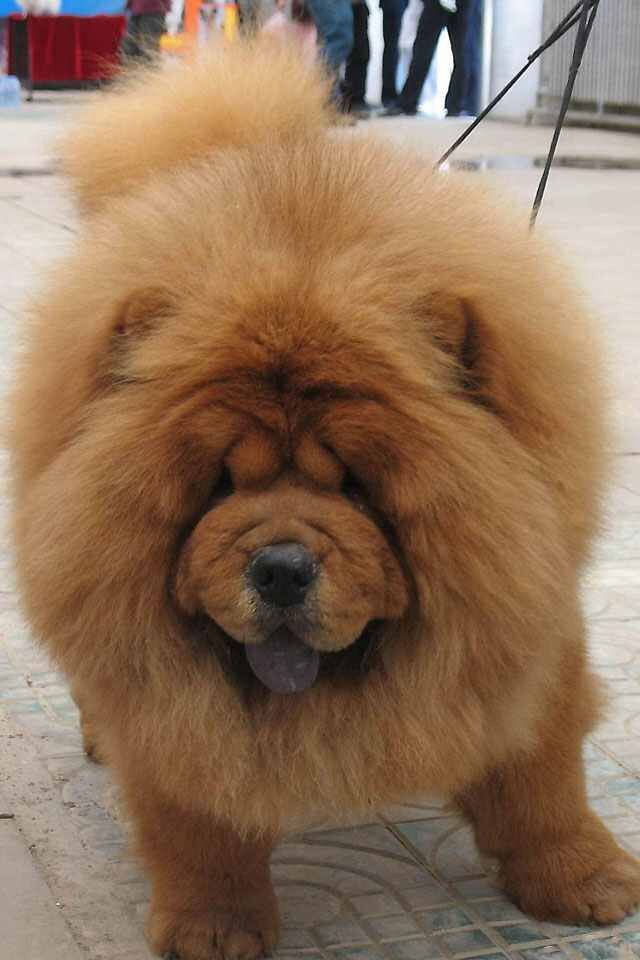 Cute Chow Lion Dog Chinese Dog Chow Chow