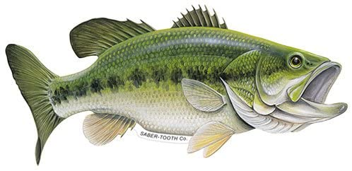 Amazon Com Saber Tooth Co Largemouth Bass Decal Sticker Freshwater Fish Collection Small 7 X 4 Facing As Shown Home Fish Watercolor Fish Fish Drawings
