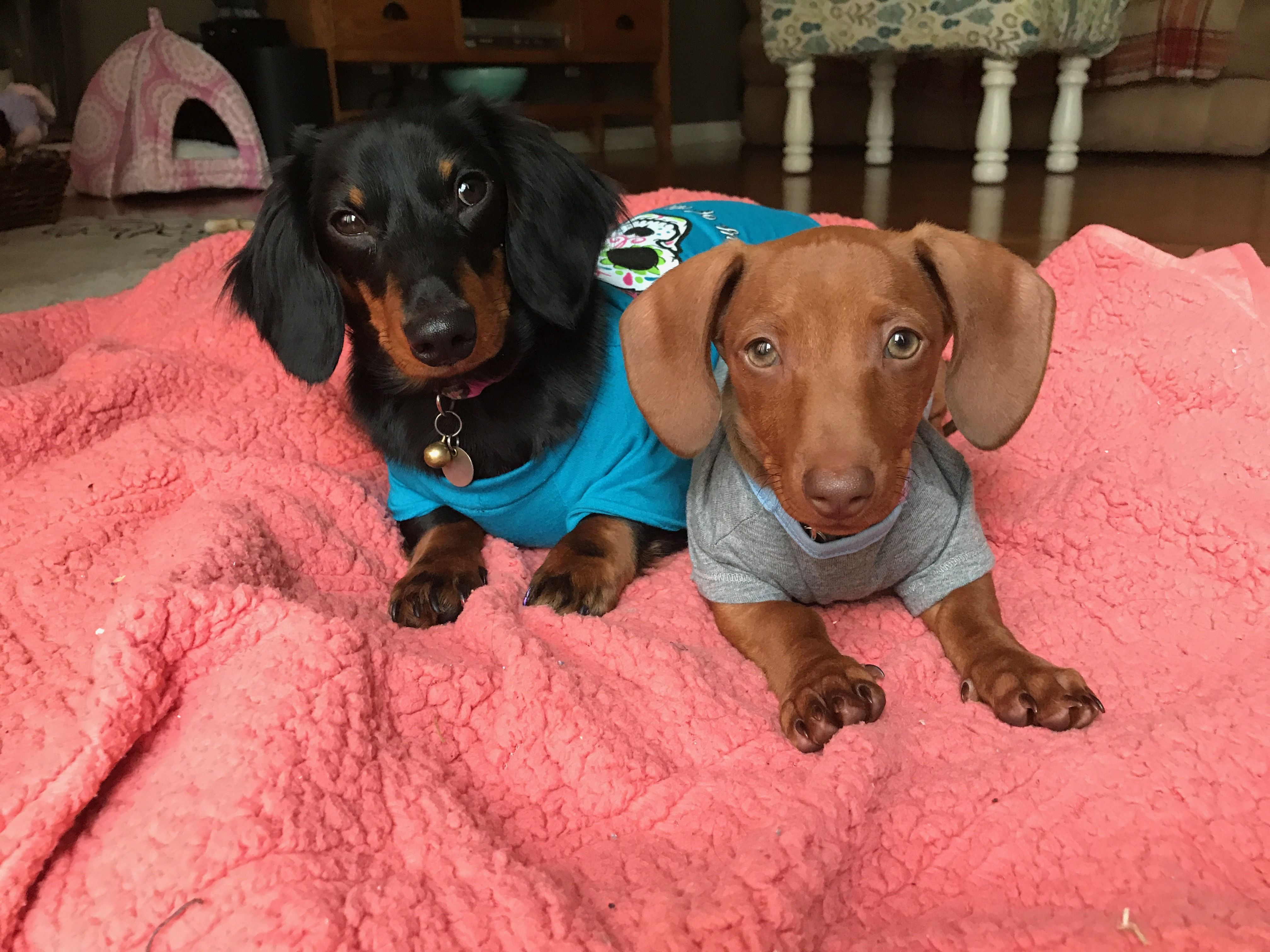 Dachshund Sisters Black And Tan Short Haired Red Miniature